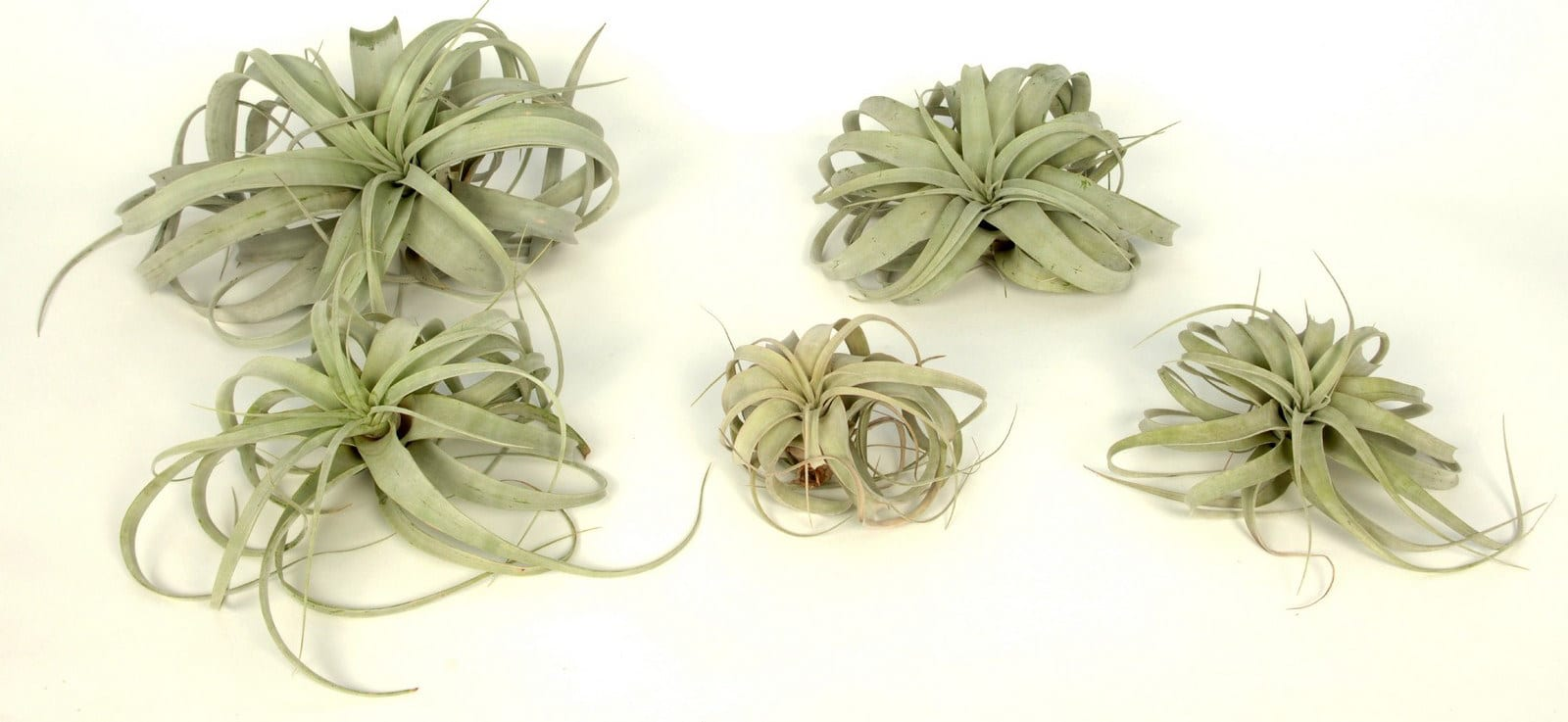 Corsa International Tillandsia